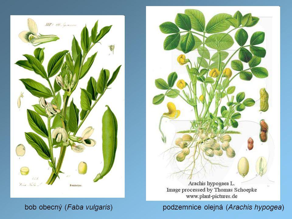 bob obecný (Faba vulgaris)podzemnice olejná (Arachis hypogea)