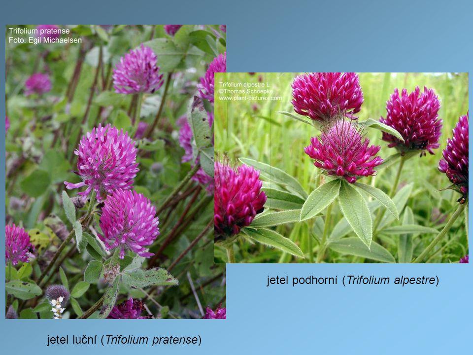 jetel luční (Trifolium pratense) jetel podhorní (Trifolium alpestre)