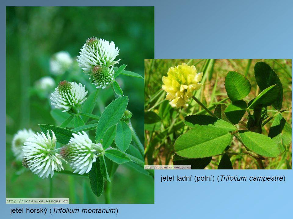 jetel horský (Trifolium montanum) jetel ladní (polní) (Trifolium campestre)
