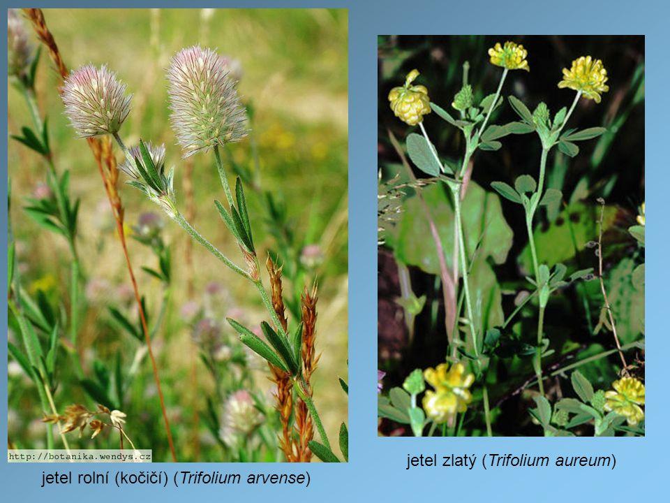 jetel rolní (kočičí) (Trifolium arvense) jetel zlatý (Trifolium aureum)