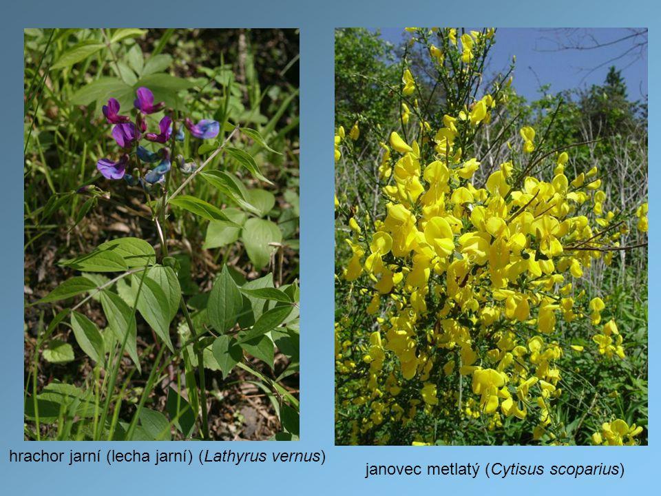 hrachor jarní (lecha jarní) (Lathyrus vernus) janovec metlatý (Cytisus scoparius)
