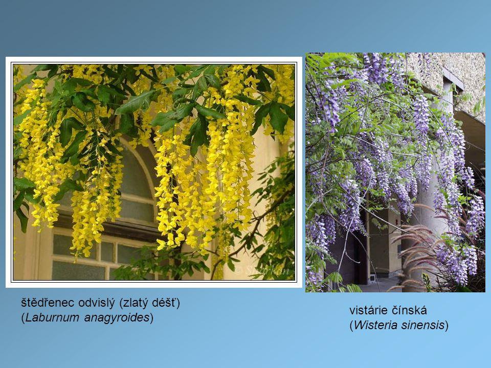 štědřenec odvislý (zlatý déšť) (Laburnum anagyroides) vistárie čínská (Wisteria sinensis)