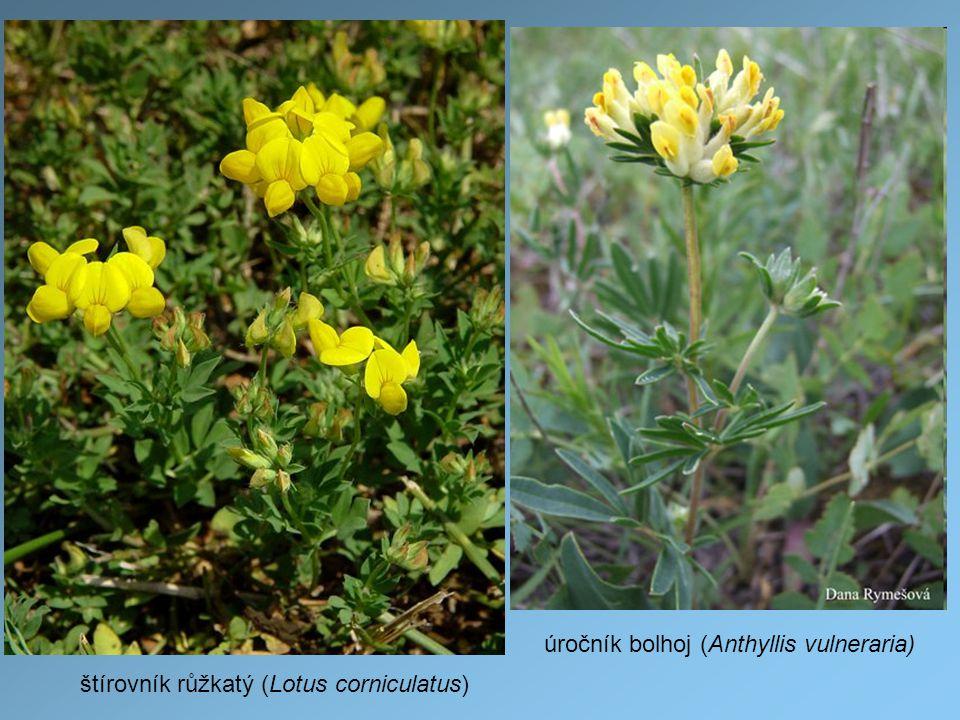 štírovník růžkatý (Lotus corniculatus) úročník bolhoj (Anthyllis vulneraria)
