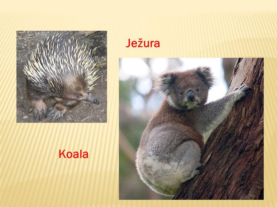 Ježura Koala