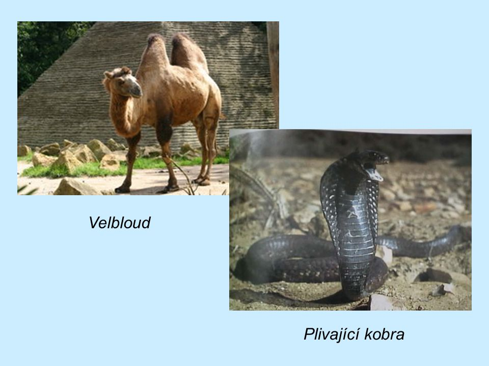 Velbloud Plivající kobra