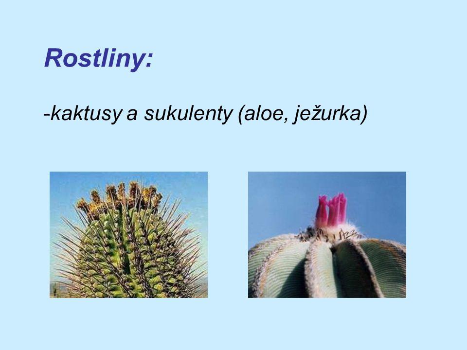 Rostliny: -kaktusy a sukulenty (aloe, ježurka)