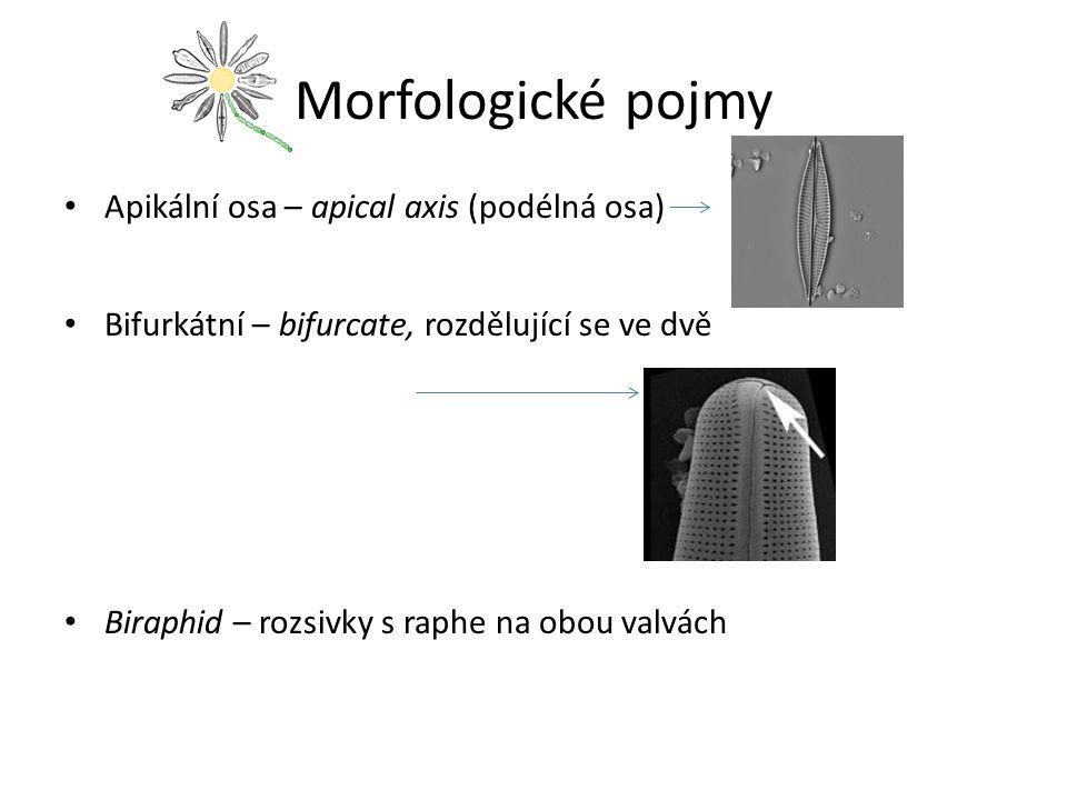 Morfologické pojmy Apikální osa – apical axis (podélná osa) Bifurkátní – bifurcate, rozdělující se ve dvě Biraphid – rozsivky s raphe na obou valvách