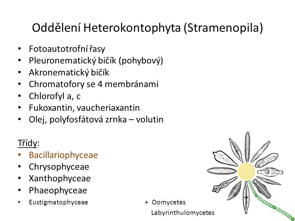 Oddělení Heterokontophyta (Stramenopila) Fotoautotrofní řasy Pleuronematický bičík (pohybový) Akronematický bičík Chromatofory se 4 membránami Chlorofyl a, c Fukoxantin, vaucheriaxantin Olej, polyfosfátová zrnka – volutin Třídy: Bacillariophyceae Chrysophyceae Xanthophyceae Phaeophyceae Eustigmatophyceae + Oomycetes Labyrinthulomycetes