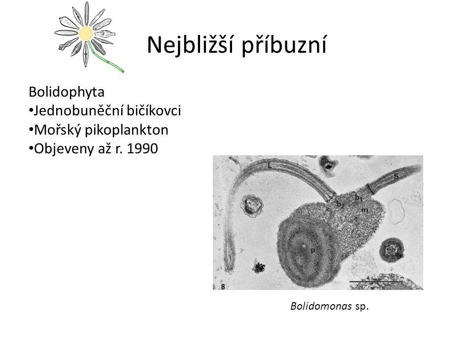 Nejbližší příbuzní Bolidophyta Jednobuněční bičíkovci Mořský pikoplankton Objeveny až r.