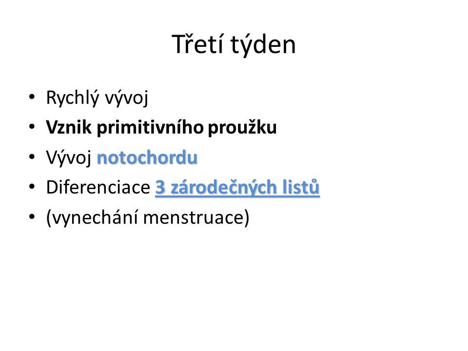 Třetí týden Rychlý vývoj Vznik primitivního proužku notochordu Vývoj notochordu 3 zárodečných listů Diferenciace 3 zárodečných listů (vynechání menstr