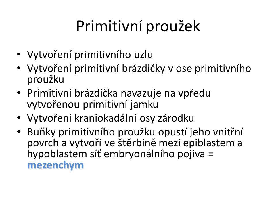 Primitivní proužek Vytvoření primitivního uzlu Vytvoření primitivní brázdičky v ose primitivního proužku Primitivní brázdička navazuje na vpředu vytvo
