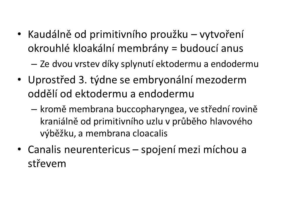 Kaudálně od primitivního proužku – vytvoření okrouhlé kloakální membrány = budoucí anus – Ze dvou vrstev díky splynutí ektodermu a endodermu Uprostřed 3.