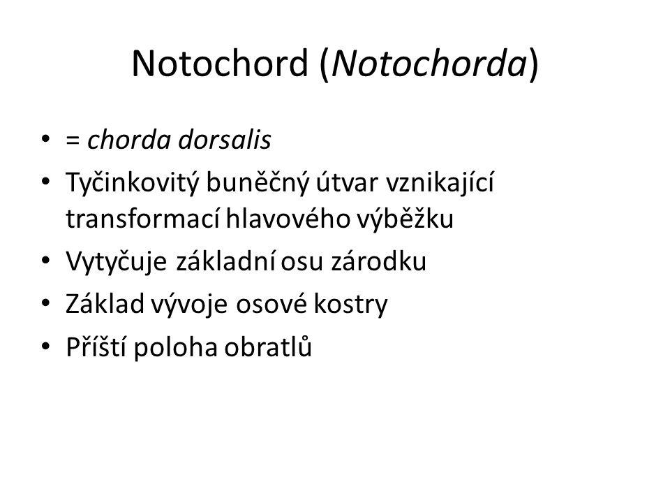 Notochord (Notochorda) = chorda dorsalis Tyčinkovitý buněčný útvar vznikající transformací hlavového výběžku Vytyčuje základní osu zárodku Základ vývoje osové kostry Příští poloha obratlů