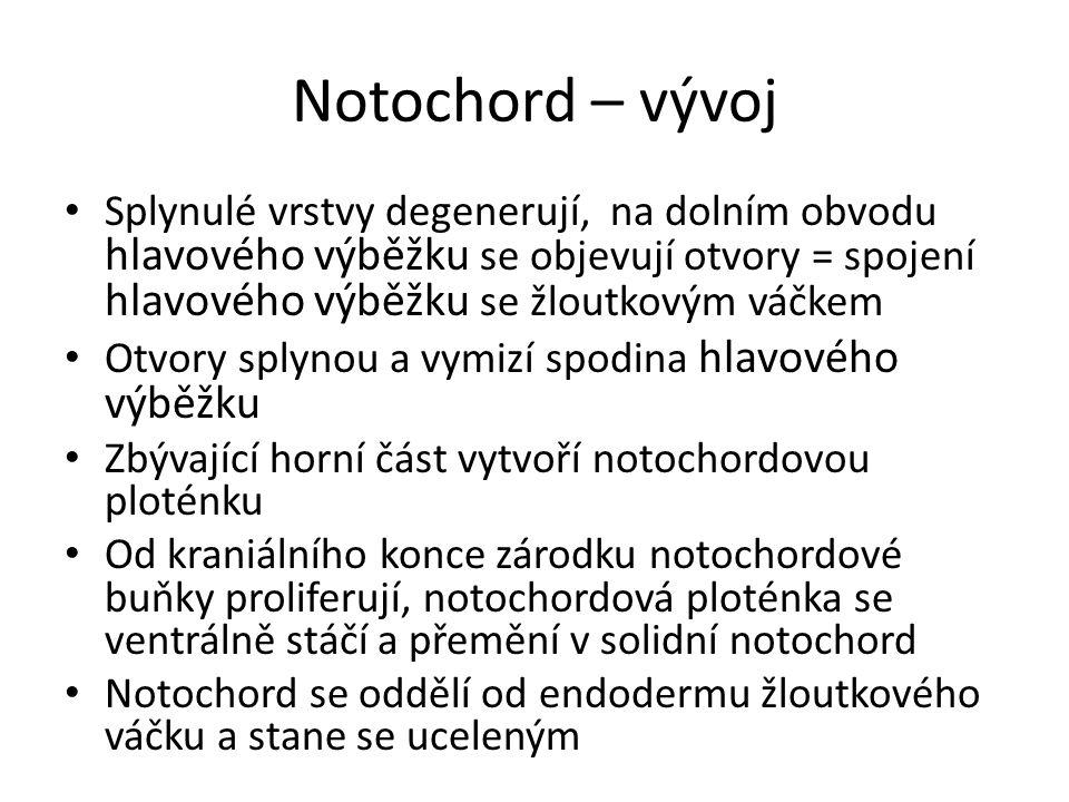 Notochord – vývoj Splynulé vrstvy degenerují, na dolním obvodu hlavového výběžku se objevují otvory = spojení hlavového výběžku se žloutkovým váčkem O