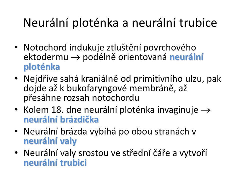 Neurální ploténka a neurální trubice neurální ploténka Notochord indukuje ztluštění povrchového ektodermu  podélně orientovaná neurální ploténka Nejdříve sahá kraniálně od primitivního ulzu, pak dojde až k bukofaryngové membráně, až přesáhne rozsah notochordu neurální brázdička Kolem 18.
