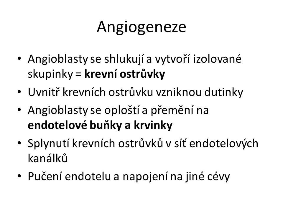 Angiogeneze Angioblasty se shlukují a vytvoří izolované skupinky = krevní ostrůvky Uvnitř krevních ostrůvku vzniknou dutinky Angioblasty se oploští a