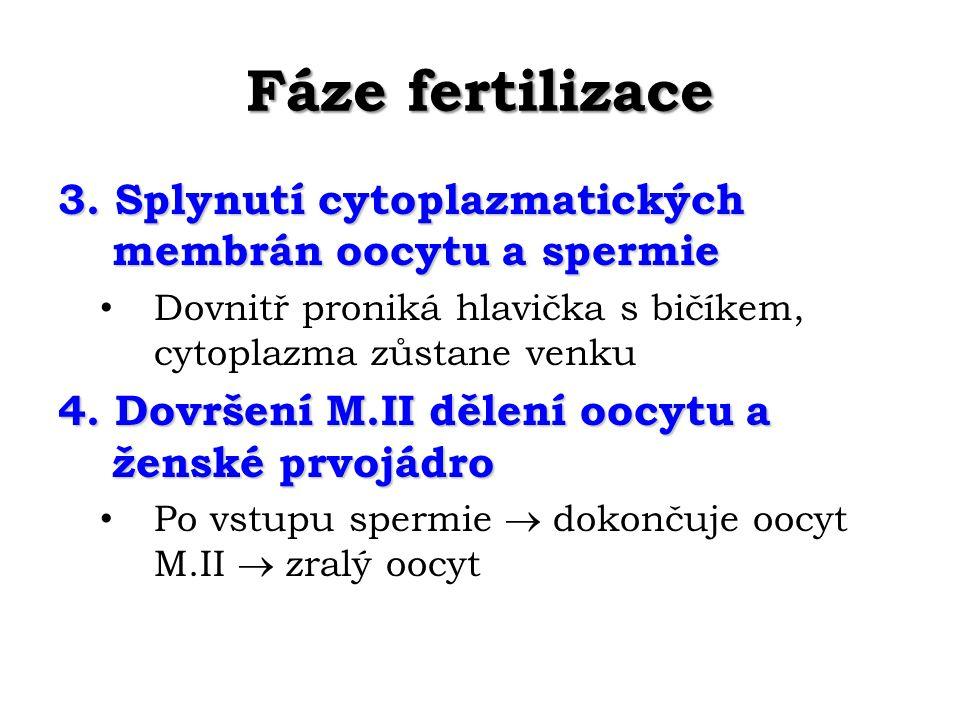 Fáze fertilizace 3.