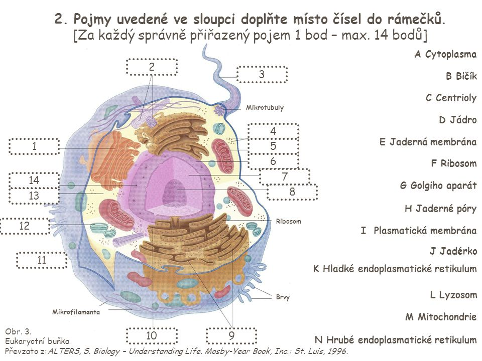 Obr. 3. Eukaryotní buňka Převzato z:ALTERS, S. Biology – Understanding Life. Mosby-Year Book, Inc.: St. Luis, 1996. Mikrotubuly Ribosom Mikrofilamenta