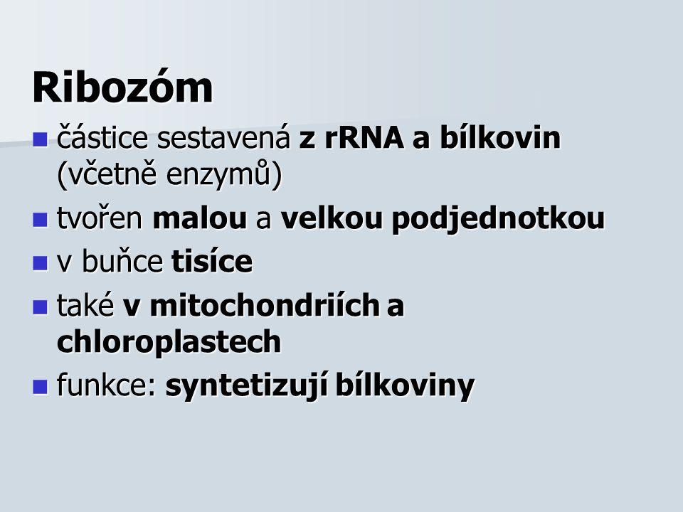 Ribozóm částice sestavená z rRNA a bílkovin (včetně enzymů) částice sestavená z rRNA a bílkovin (včetně enzymů) tvořen malou a velkou podjednotkou tvořen malou a velkou podjednotkou v buňce tisíce v buňce tisíce také v mitochondriích a chloroplastech také v mitochondriích a chloroplastech funkce: syntetizují bílkoviny funkce: syntetizují bílkoviny