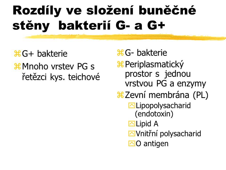 Rozdíly ve složení buněčné stěny bakterií G- a G+ zG+ bakterie zMnoho vrstev PG s řetězci kys. teichové z G- bakterie z Periplasmatický prostor s jedn