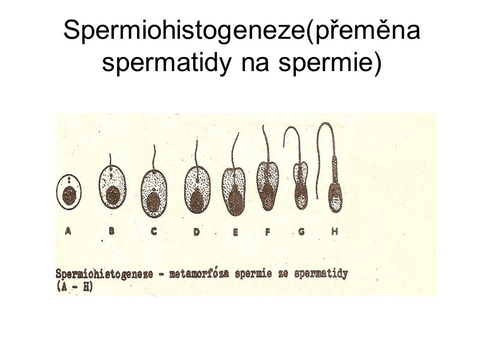 Spermiogeneze(průběh)