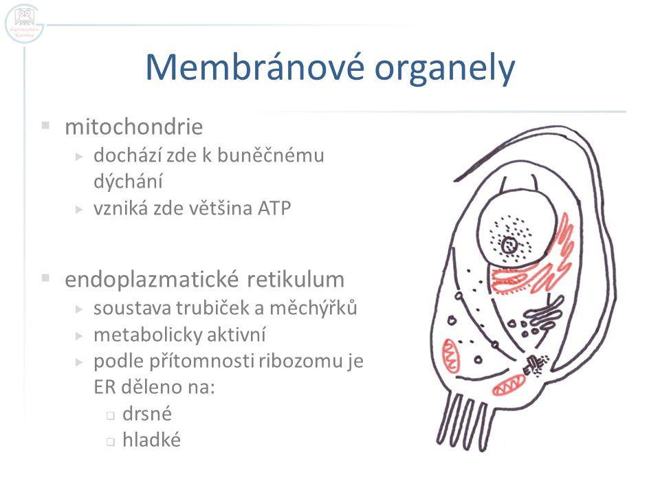 Membránové organely  mitochondrie  dochází zde k buněčnému dýchání  vzniká zde většina ATP  endoplazmatické retikulum  soustava trubiček a měchýř