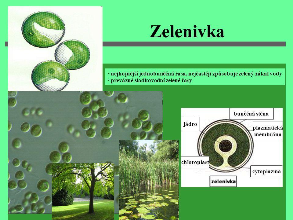 Zelenivka · nejhojnější jednobuněčná řasa, nejčastěji způsobuje zelený zákal vody ∙ převážně sladkovodní zelené řasy jádro chloroplast cytoplazma plaz