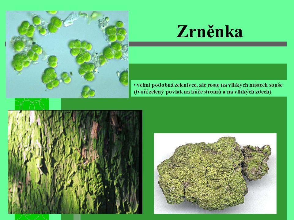 Zrněnka velmi podobná zelenivce, ale roste na vlhkých místech souše (tvoří zelený povlak na kůře stromů a na vlhkých zdech)