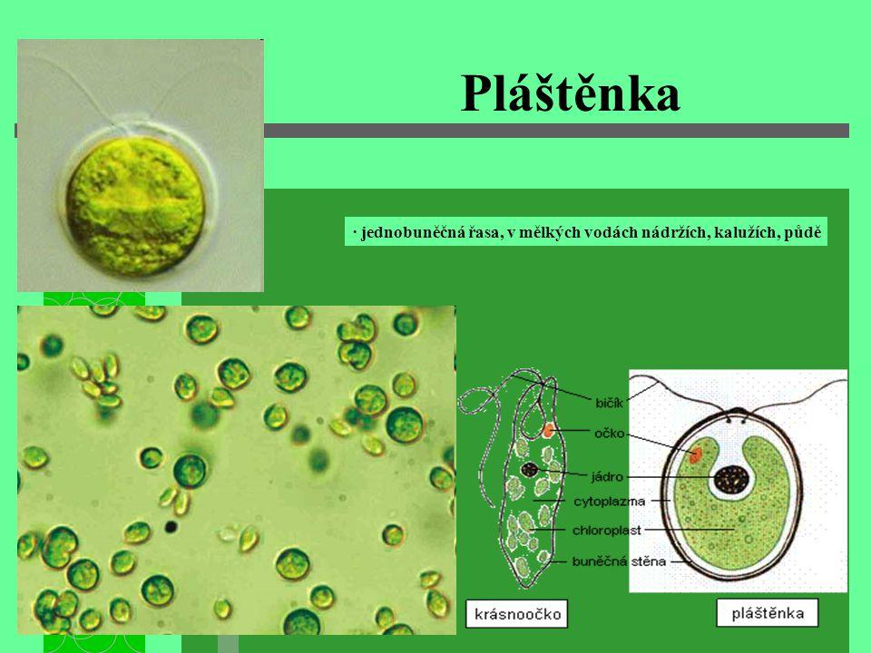 Krásnoočko pelikula chloroplast jádro stažitelná vakuola Stigma (očko) bičík · jednobuněčná řasa, je výjimečná tím, že nemá buněčnou stěnu · žije v silně znečištěných vodách ( louže, močůvka…) · na rozdíl od ostatních rostlin může žít i ve tmě pak zastaví fotosyntézu a živí se organickými látkami jako živočichové