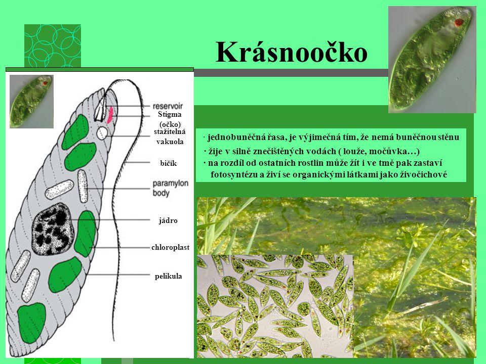 Krásnoočko pelikula chloroplast jádro stažitelná vakuola Stigma (očko) bičík · jednobuněčná řasa, je výjimečná tím, že nemá buněčnou stěnu · žije v si
