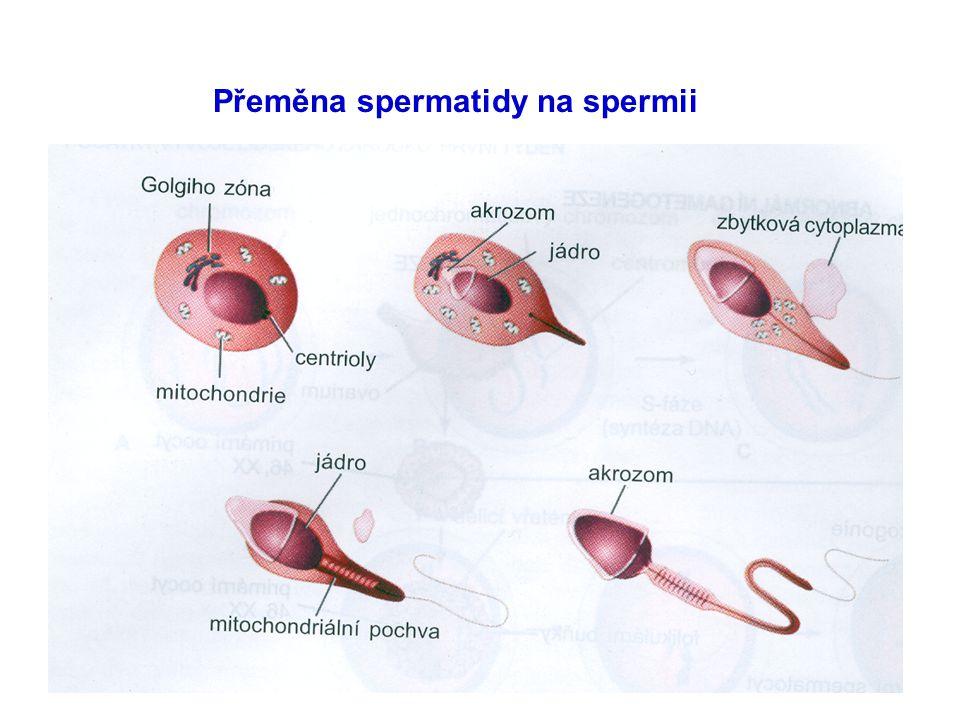 Přeměna spermatidy na spermii