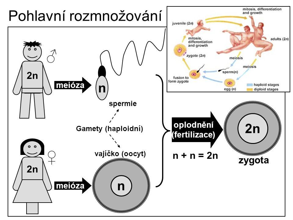Pohlavní rozmnožování 2n meióza n n Gamety (haploidní) spermie vajíčko (oocyt) oplodnění (fertilizace) 2n n + n = 2n zygota ♂ ♀