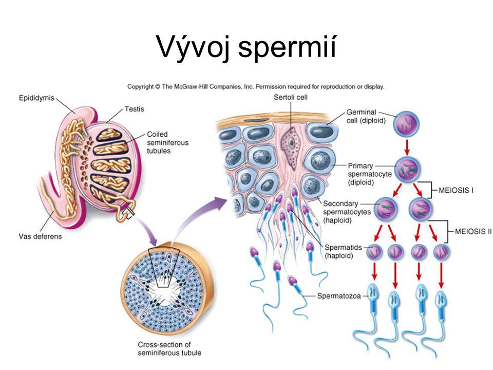 Spermatogeneze 1 – leptotene/zygoten 2 – pachyten 3 – mladší spermatidy 4 – starší spermatidy 5 – Sertoliho buňky 6 - spermatogonie