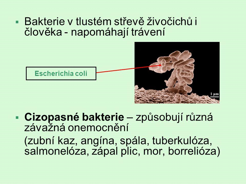  Bakterie v tlustém střevě živočichů i člověka - napomáhají trávení  Cizopasné bakterie – způsobují různá závažná onemocnění (zubní kaz, angína, spá