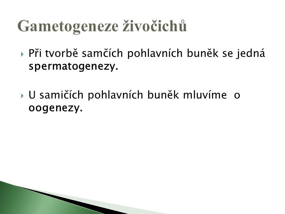  Při tvorbě samčích pohlavních buněk se jedná spermatogenezy.  U samičích pohlavních buněk mluvíme o oogenezy.