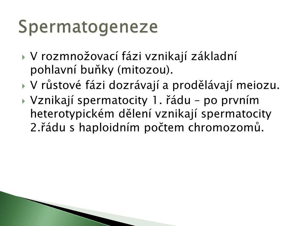  Po druhém homeotypickém dělení vzniknou 4 haploidní spermatidy, ze kterých vzniknou samčí gamety (spermatozoidy) – spermie, která se protáhne, jádro se přesune k jednomu pólu a vytvoří hlavičku pokrytou tenkou vrstvou cytoplazmy.