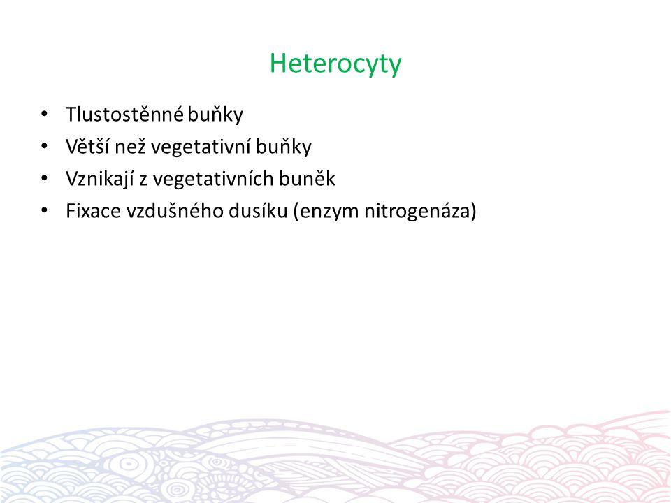 Heterocyty Tlustostěnné buňky Větší než vegetativní buňky Vznikají z vegetativních buněk Fixace vzdušného dusíku (enzym nitrogenáza)