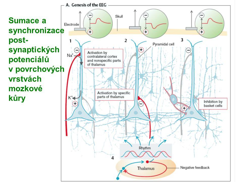 EEG atlas A Sumace a synchronizace post- synaptických potenciálů v povrchových vrstvách mozkové kůry