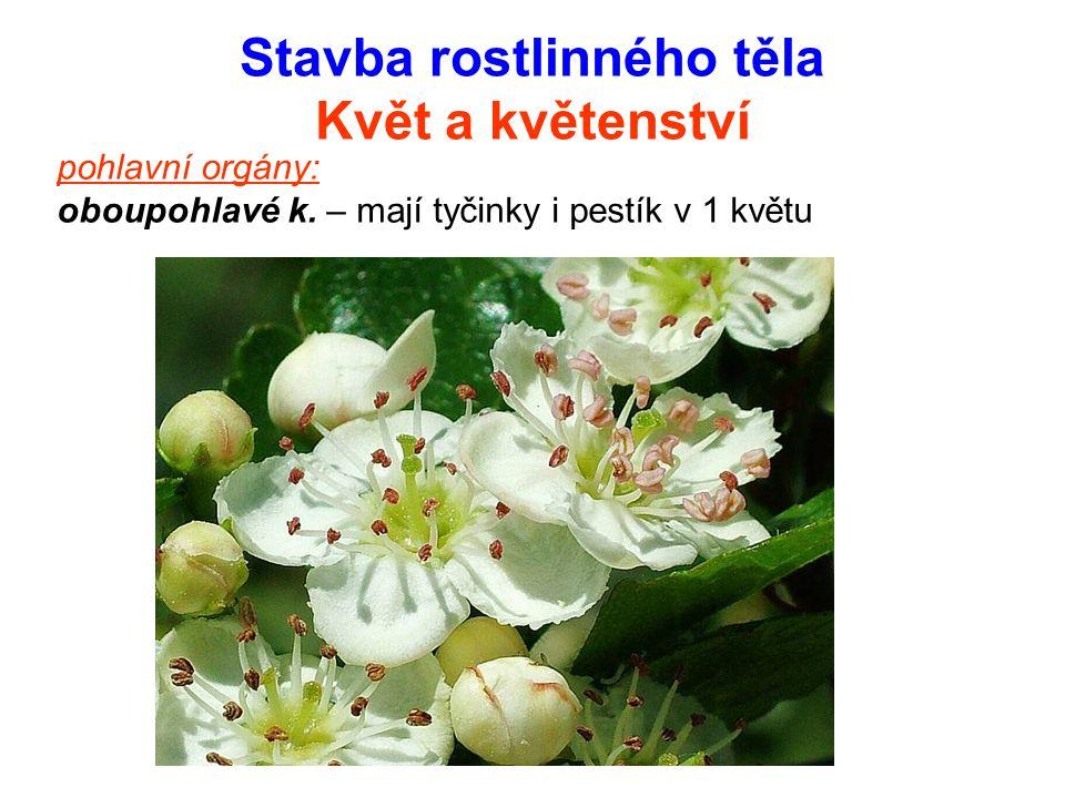 Stavba rostlinného těla Květ a květenství pohlavní orgány: oboupohlavé k. – mají tyčinky i pestík v 1 květu