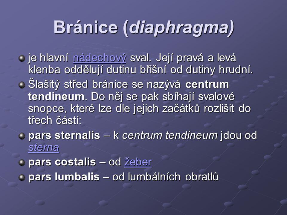 Bránice (diaphragma) je hlavní nádechový sval. Její pravá a levá klenba oddělují dutinu břišní od dutiny hrudní. nádechový Šlašitý střed bránice se na