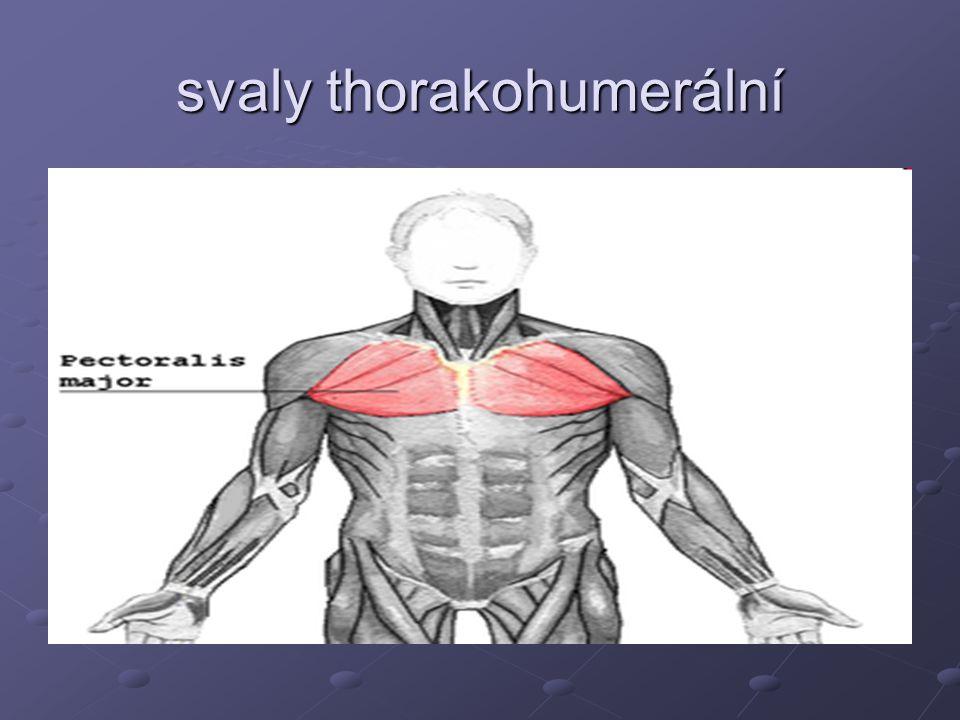 svaly thorakohumerální