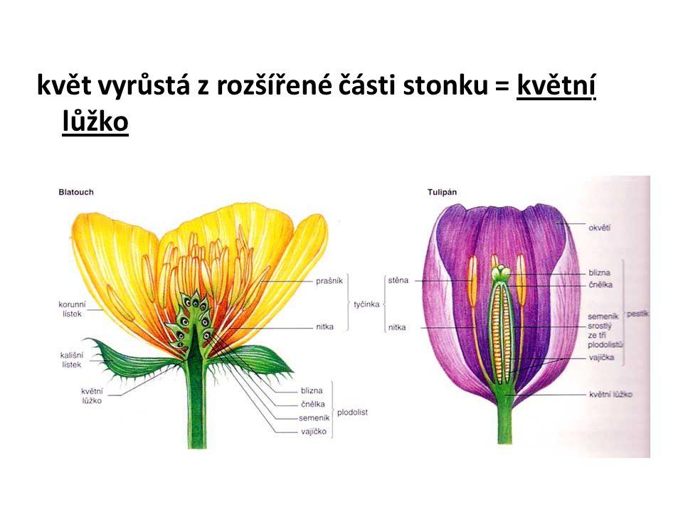 květ vyrůstá z rozšířené části stonku = květní lůžko koniklec sněženka