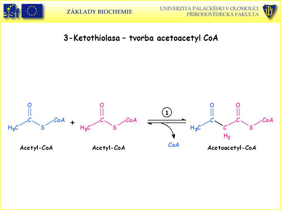 3-Ketothiolasa – tvorba acetoacetyl CoA