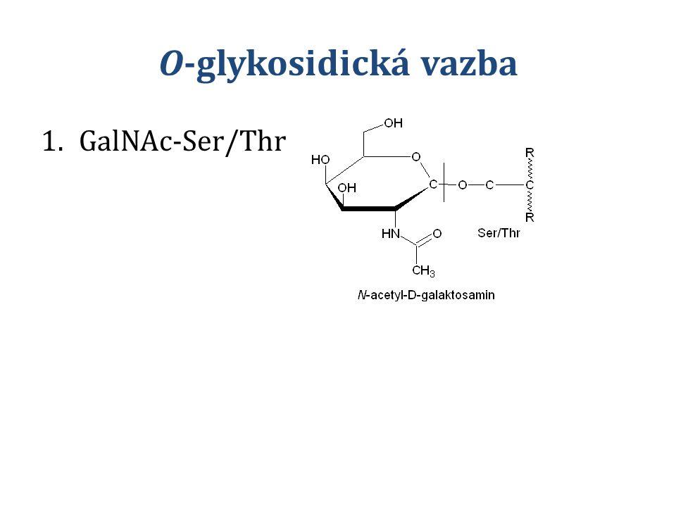 O-glykosidická vazba 1.GalNAc-Ser/Thr
