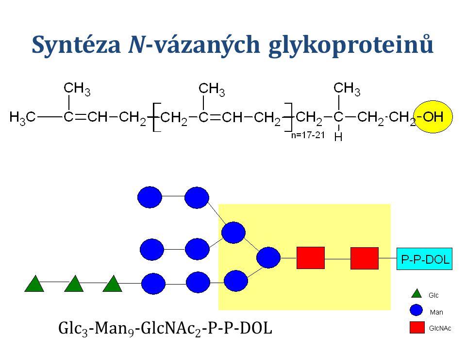 Syntéza N-vázaných glykoproteinů Glc 3 -Man 9 -GlcNAc 2 -P-P-DOL
