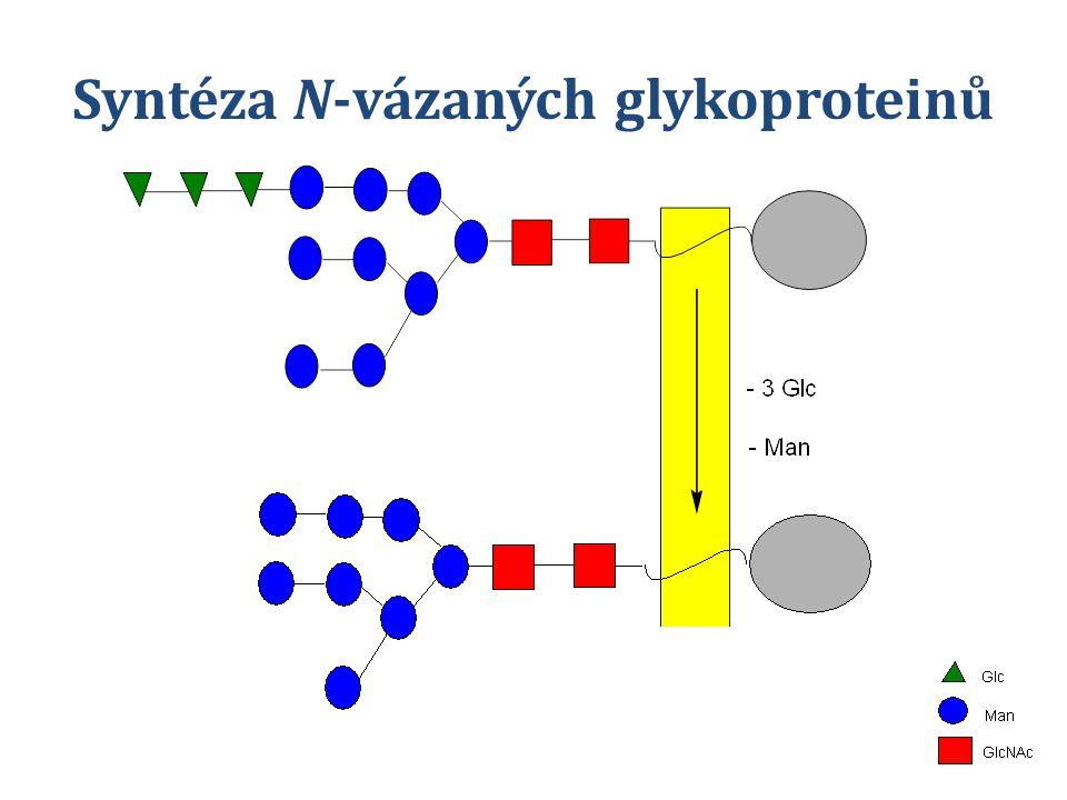 Syntéza N-vázaných glykoproteinů lysosomální enzymy cis-Golgi Signál vede proteiny do lysosomů