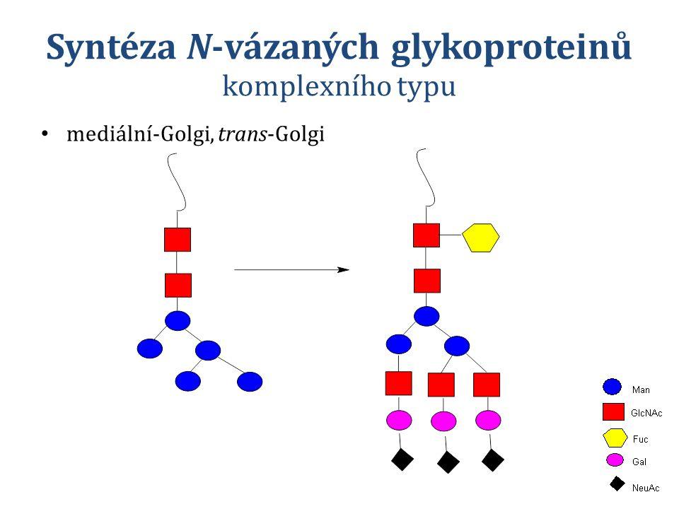 Syntéza N-vázaných glykoproteinů komplexního typu mediální-Golgi, trans-Golgi
