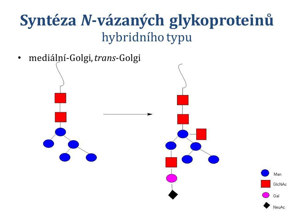 Syntéza N-vázaných glykoproteinů hybridního typu mediální-Golgi, trans-Golgi