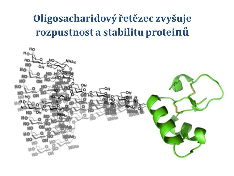 Oligosacharidový řetězec zvyšuje rozpustnost a stabilitu protei nů