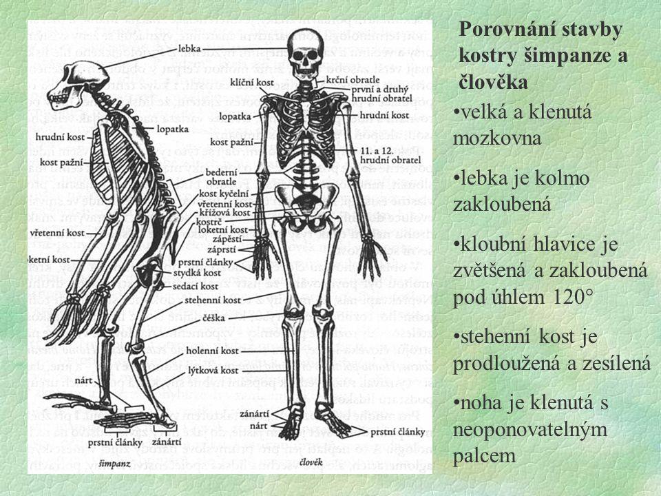Porovnání stavby kostry šimpanze a člověka velká a klenutá mozkovna lebka je kolmo zakloubená kloubní hlavice je zvětšená a zakloubená pod úhlem 120°